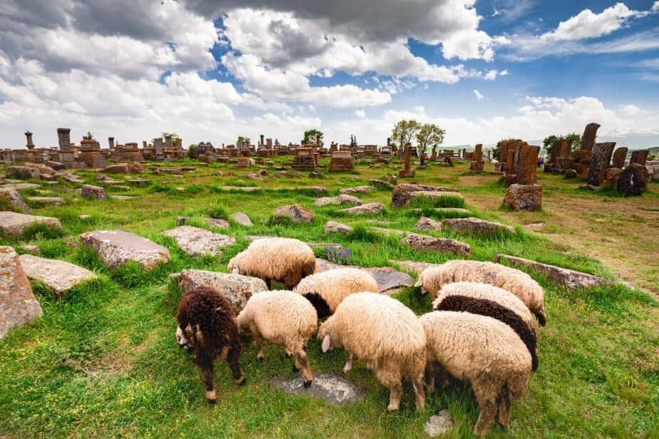 Sheep graze in Noratus